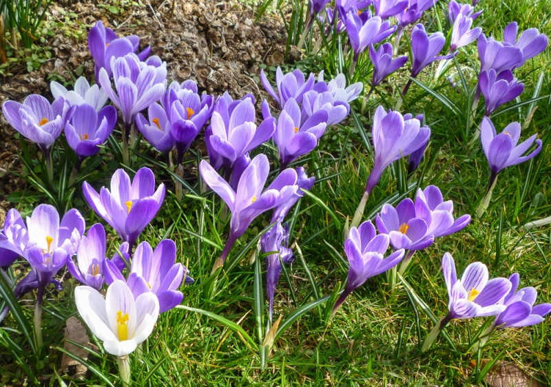 crocuses at Speldhurst church